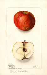 Apples, Noble Sovar