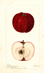 Apples, Noble Sovar (1896)