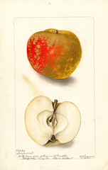 Apples, Nonpareil (1902)