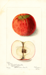 Apples, Norman (1902)