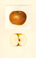Apples, Renetta Dorata (1939)