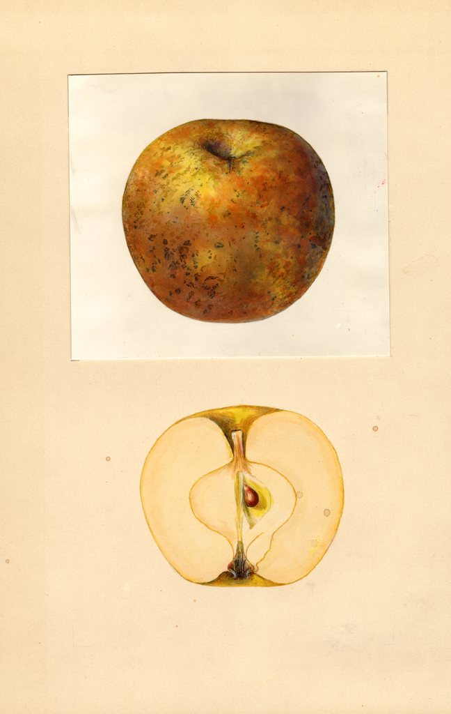 Apples, Renetta Gri Goa Tirolese (1939)