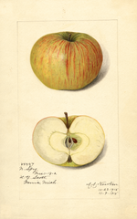 Apples, Northern Spy (1915)