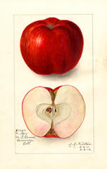Apples, Northern Spy (1912)