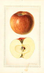 Apples, Northern Spy (1928)