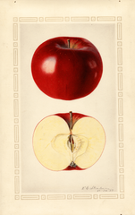 Apples, Northern Spy (1922)