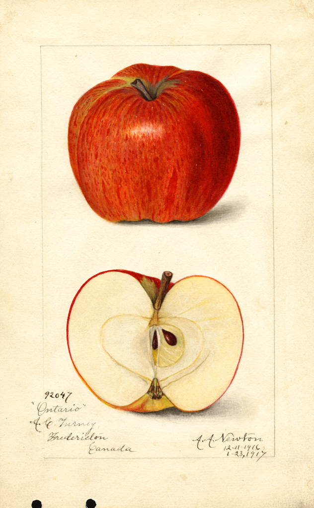 Apples, Ontario (1917)
