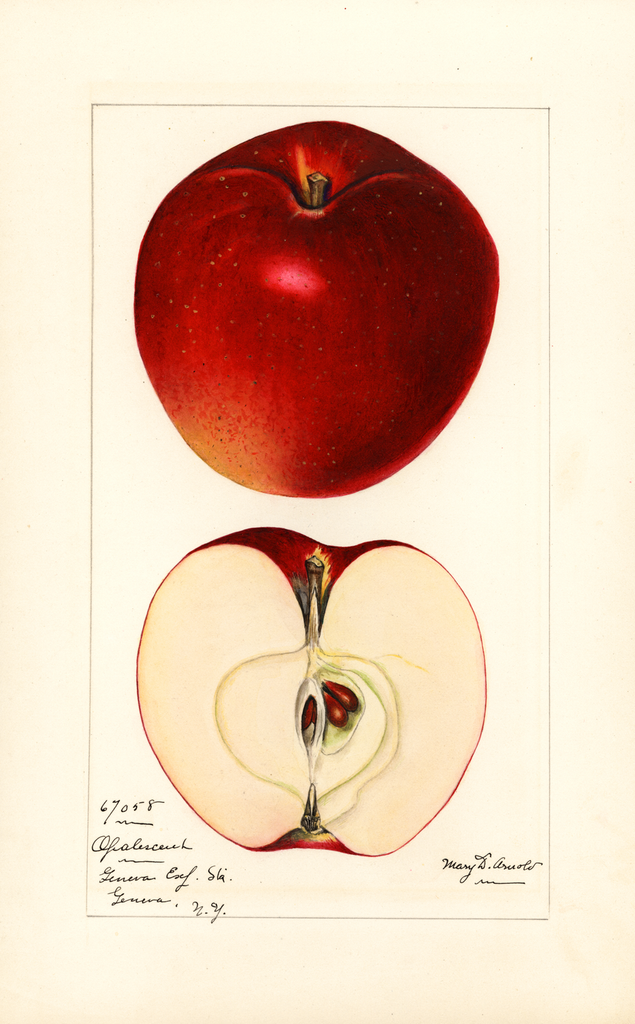 Apples, Opalescent