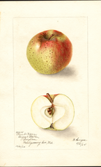 Apples, Plumb Pippin (1905)