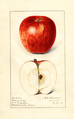Apples, Plumb Cider (1916)