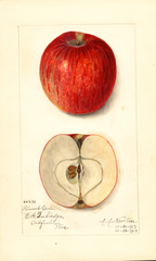 Apples, Plumb Cider (1913)