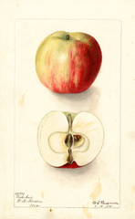 Apples, Pink Anis (1901)