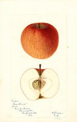Apples, Pine Stump (1897)