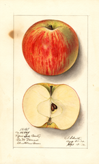 Apples, Pipers Fall Beauty (1912)