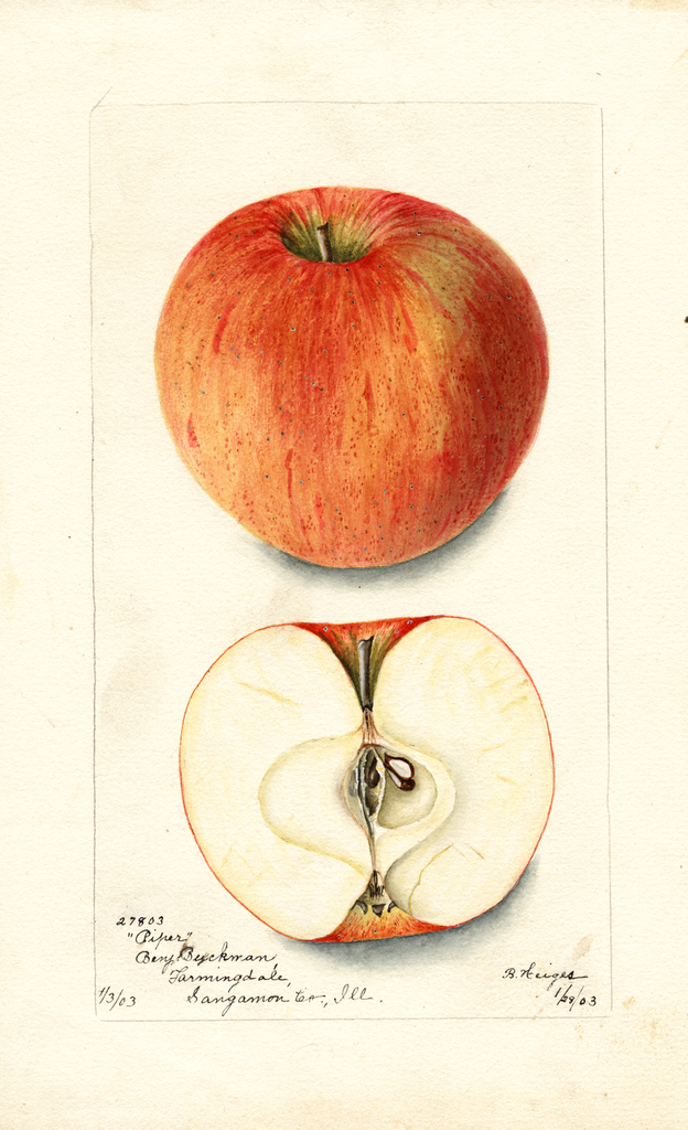 Apples, Piper (1903)