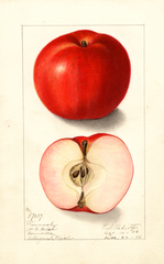 Apples, Pinnacle (1906)