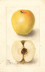 Apples, Ortley (1906)