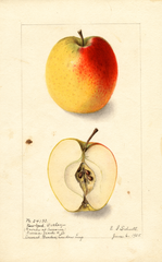 Apples, Ortley (1905)