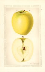 Apples, Ortley (1930)