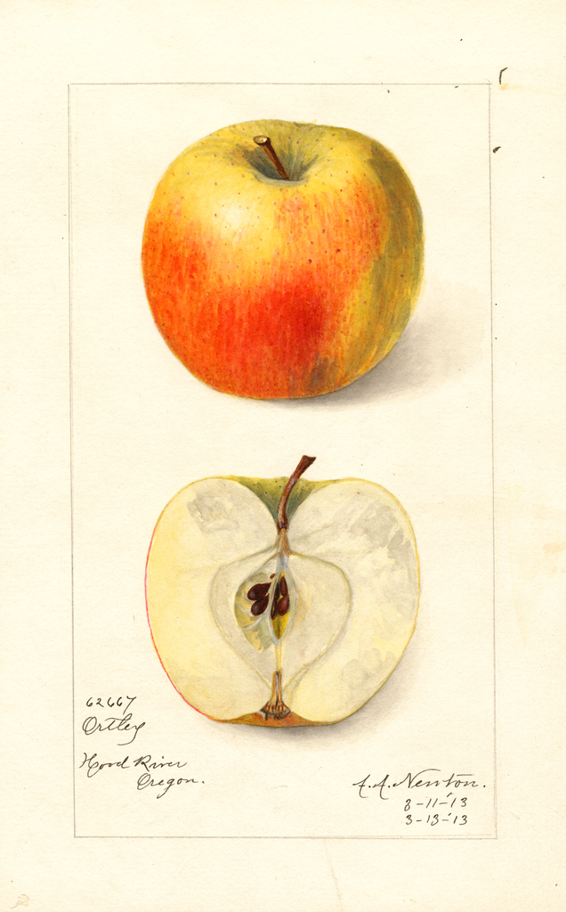 Apples, Ortley (1913)