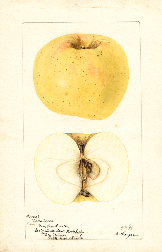 Apples, Oskaloosa (1896)