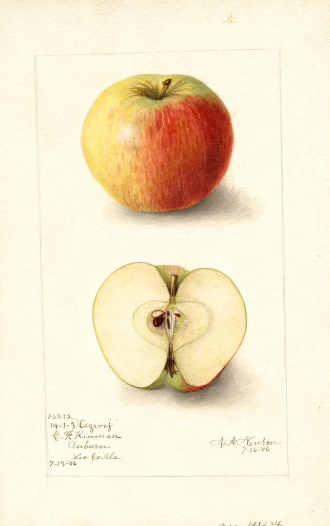 Apples, Oszivaj (1906)
