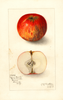 Apples, Pajaro Beauty (1910)