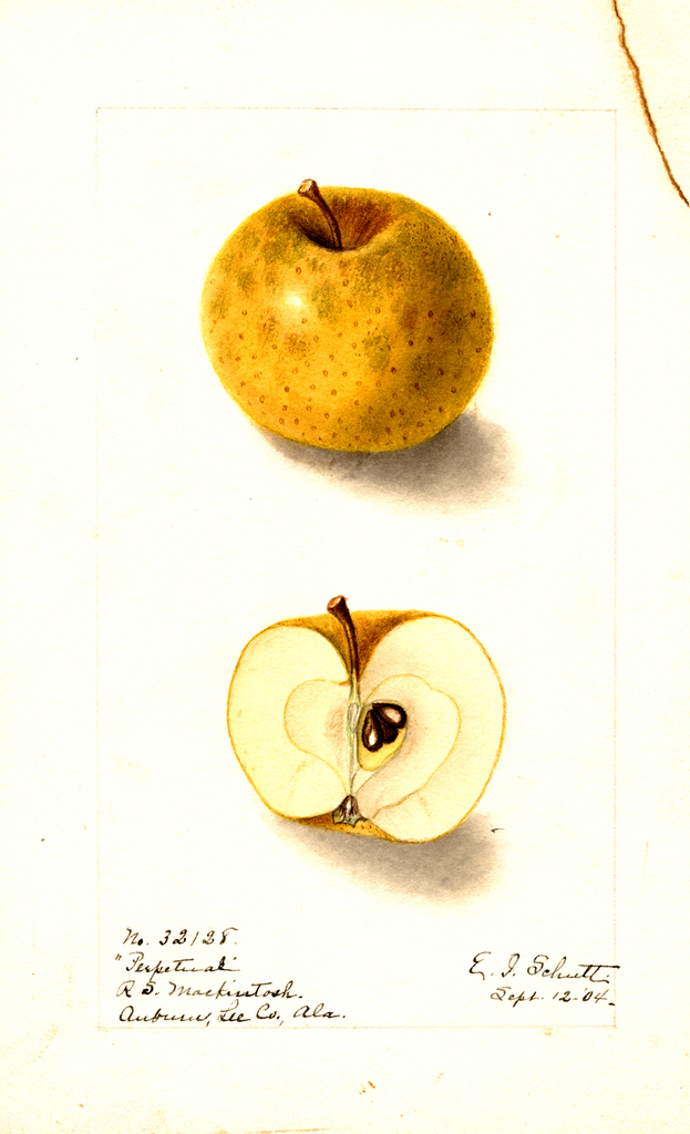Apples, Perpetual (1904)