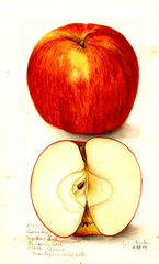 Apples, Pewaukee (1906)