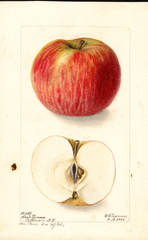 Apples, Coxs Pomona (1901)
