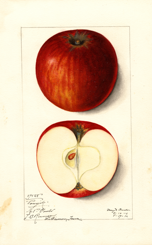 Apples, Pomjik (1912)