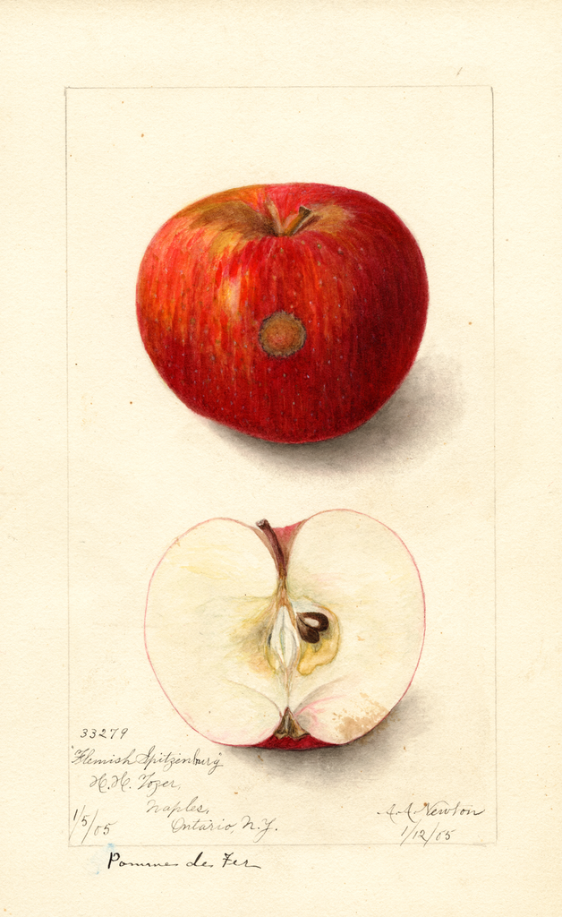 Apples, Flemish Spitzenburg (1905)