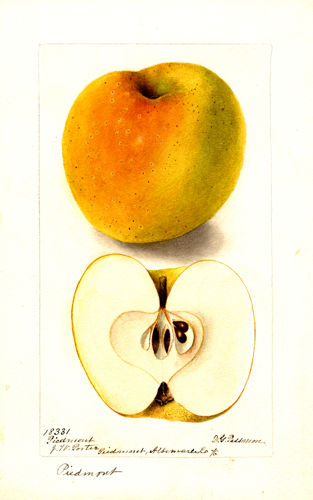 Apples, Piedmont (1899)