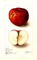 Apples, Pharr Seedless (1905)
