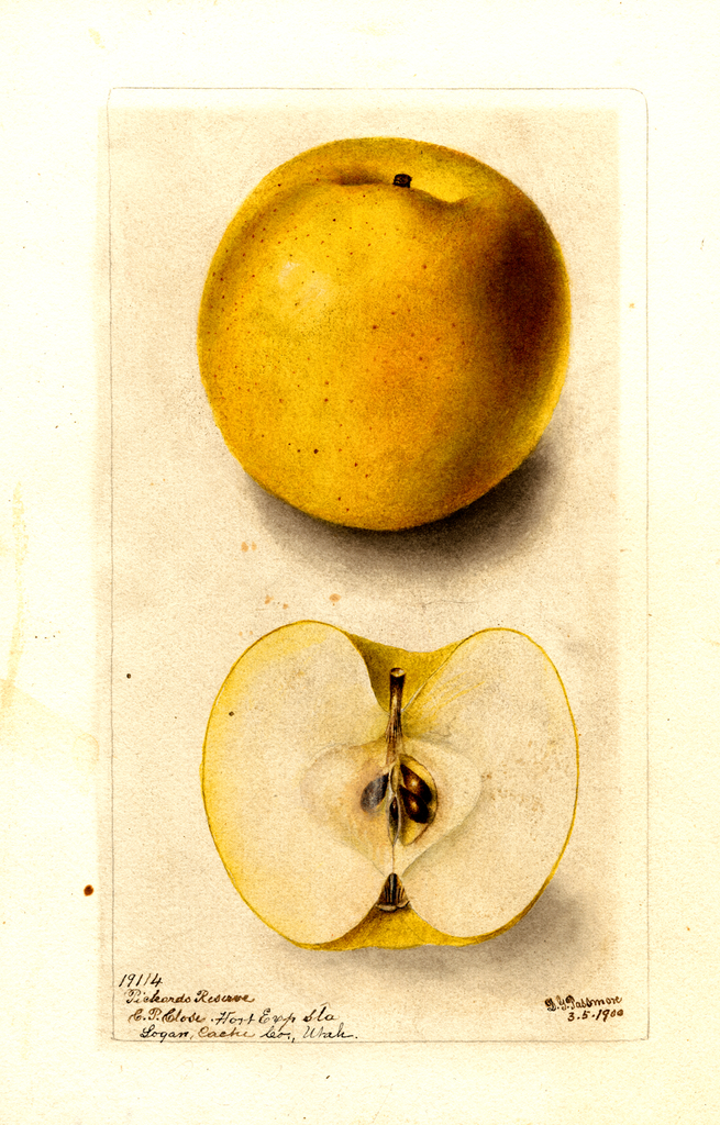 Apples, Pickards Reserve (1900)