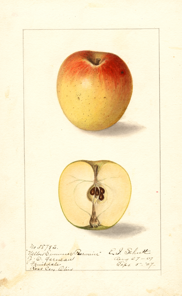 Apples, Yellow Summer Pearmain (1907)