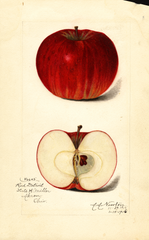 Apples, Detroit Red (1916)