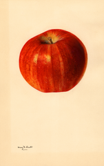 Apples, Red Rome Beauty (1931)
