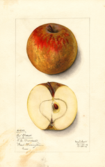 Apples, Red Russet (1912)