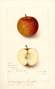 Apples, Red Russet (1905)