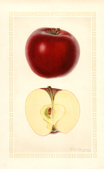 Apples, Red Stayman (1926)