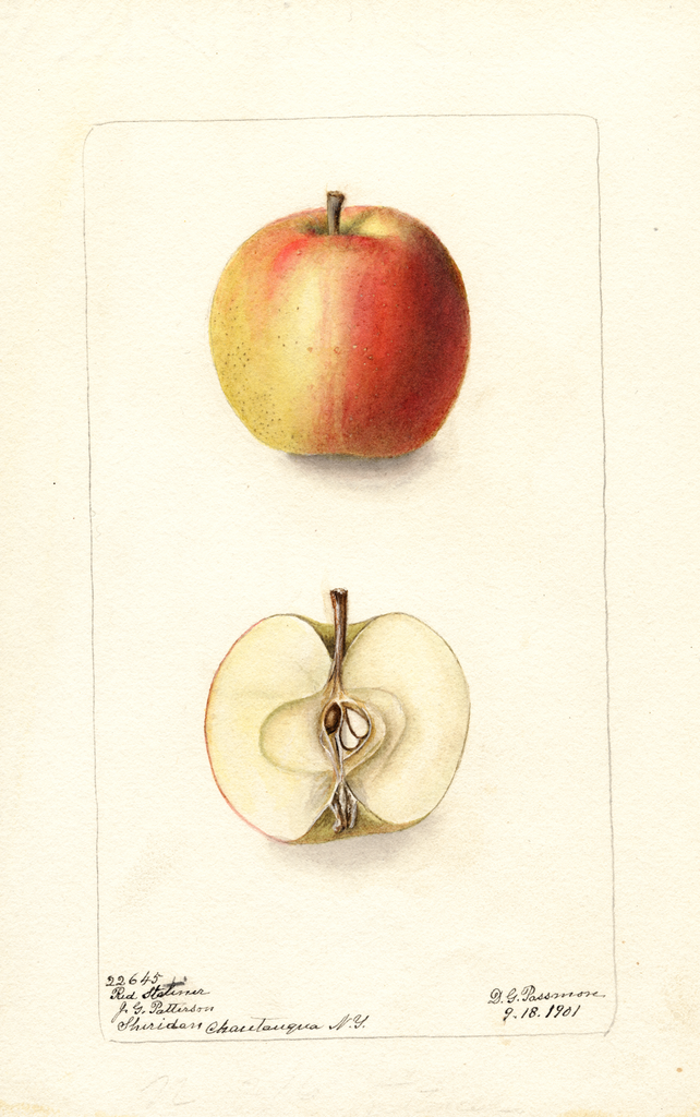 Apples, Red Stetiner (1901)