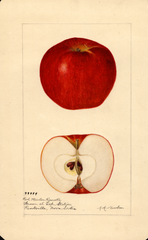 Apples, Red Winter Reinette (1920)