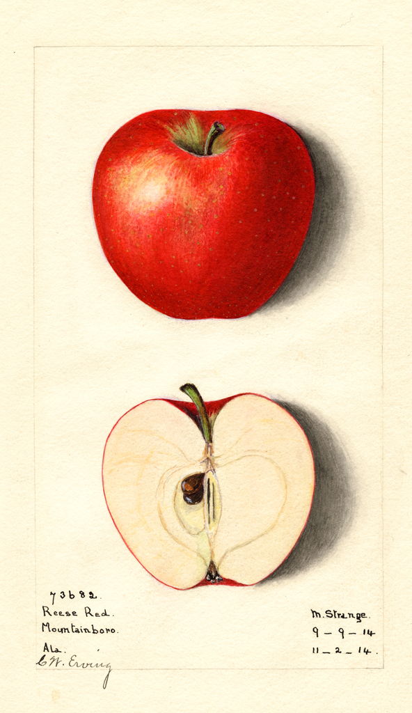 Apples, Reese Red (1914)