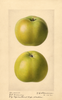 Apples, Rhode Island Greening (1921)