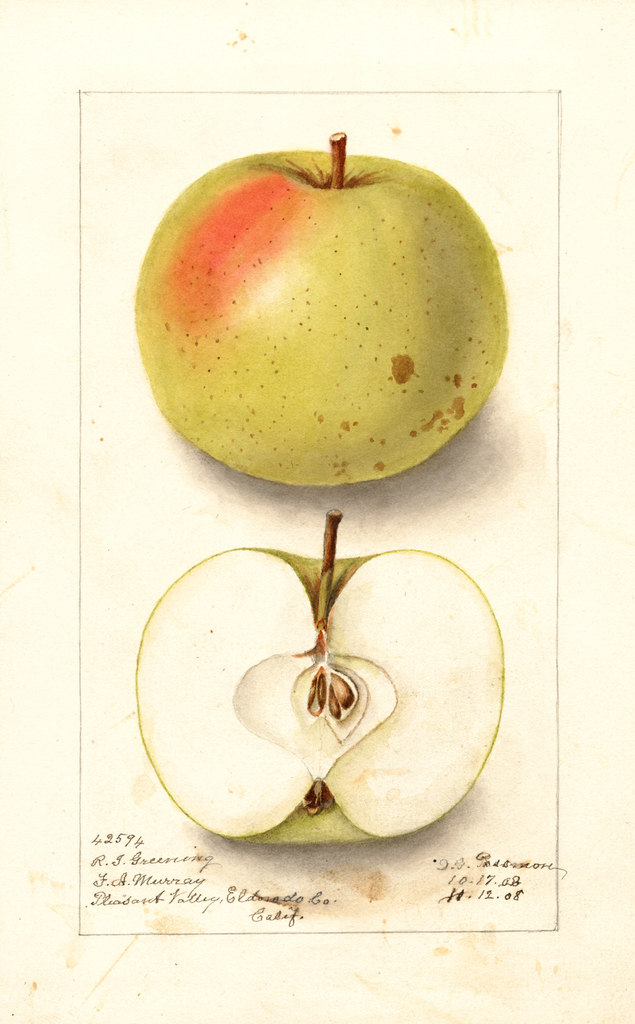 Apples, Rhode Island Greening (1908)
