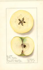 Apples, Yellow Newtown (1913)