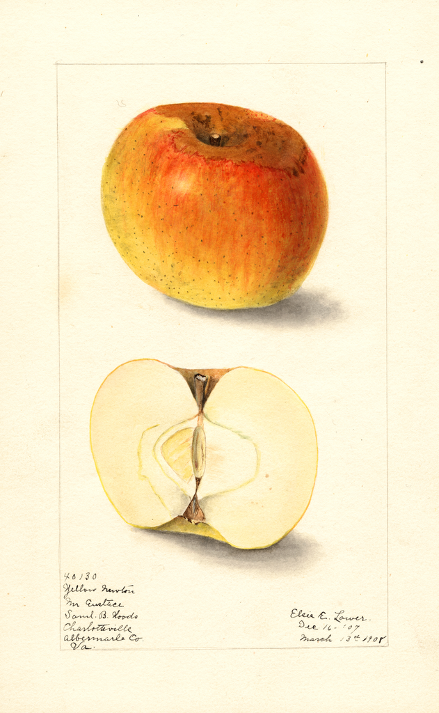 Apples, Yellow Newtown (1908)