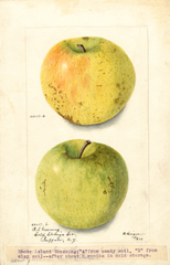 Apples, Rhode Island Greening (1903)