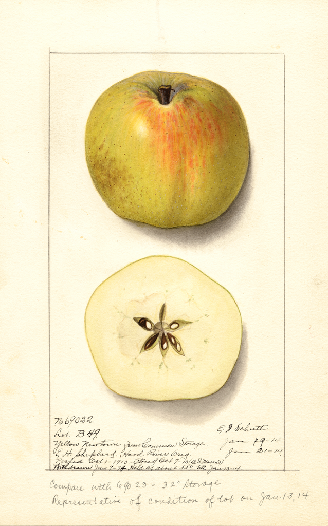 Apples, Yellow Newtown (1914)